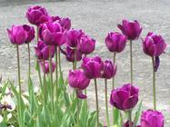 tulipe traduction arabe